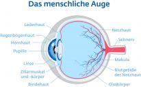 Anatomie Auge