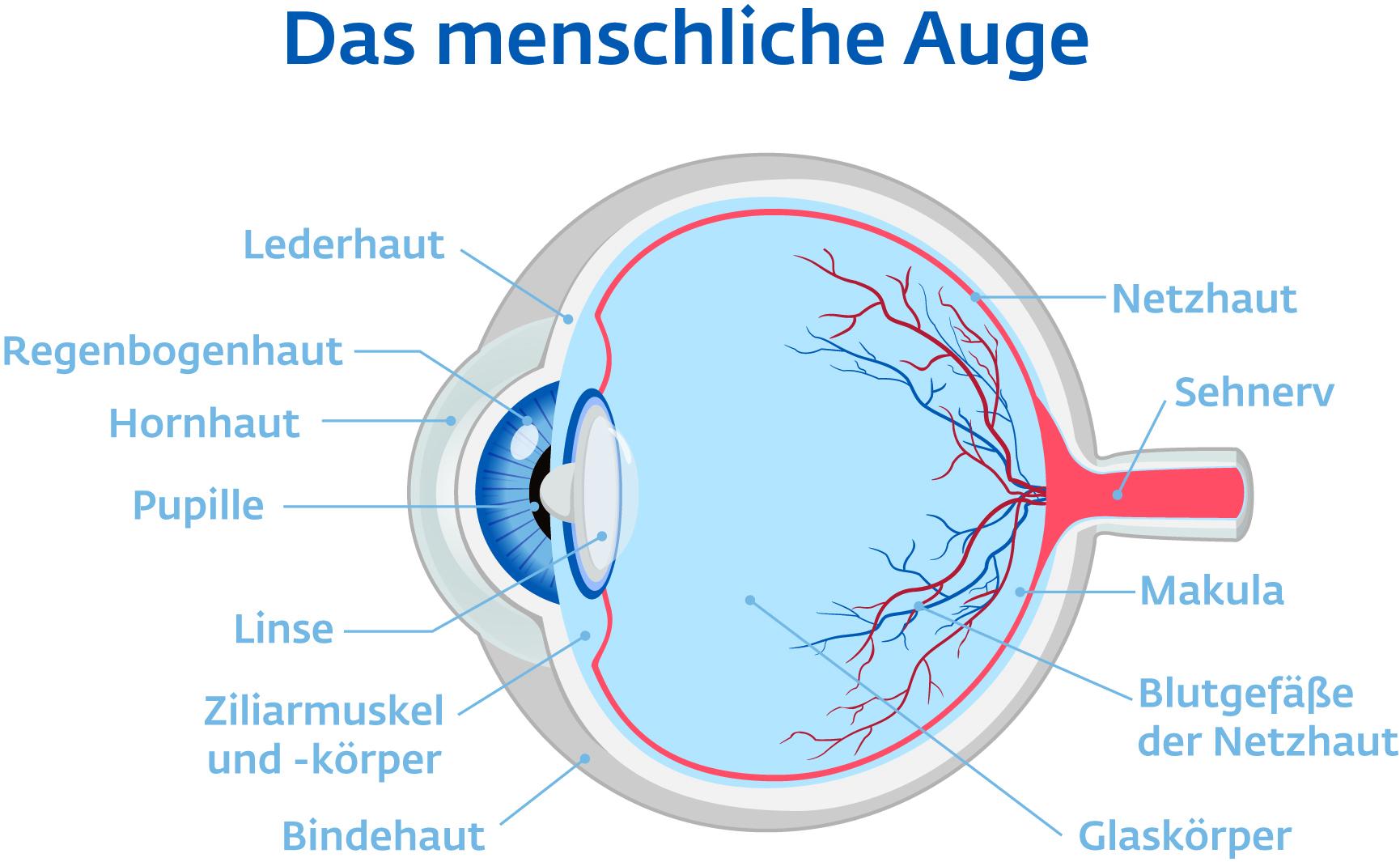 Auge Anatomie