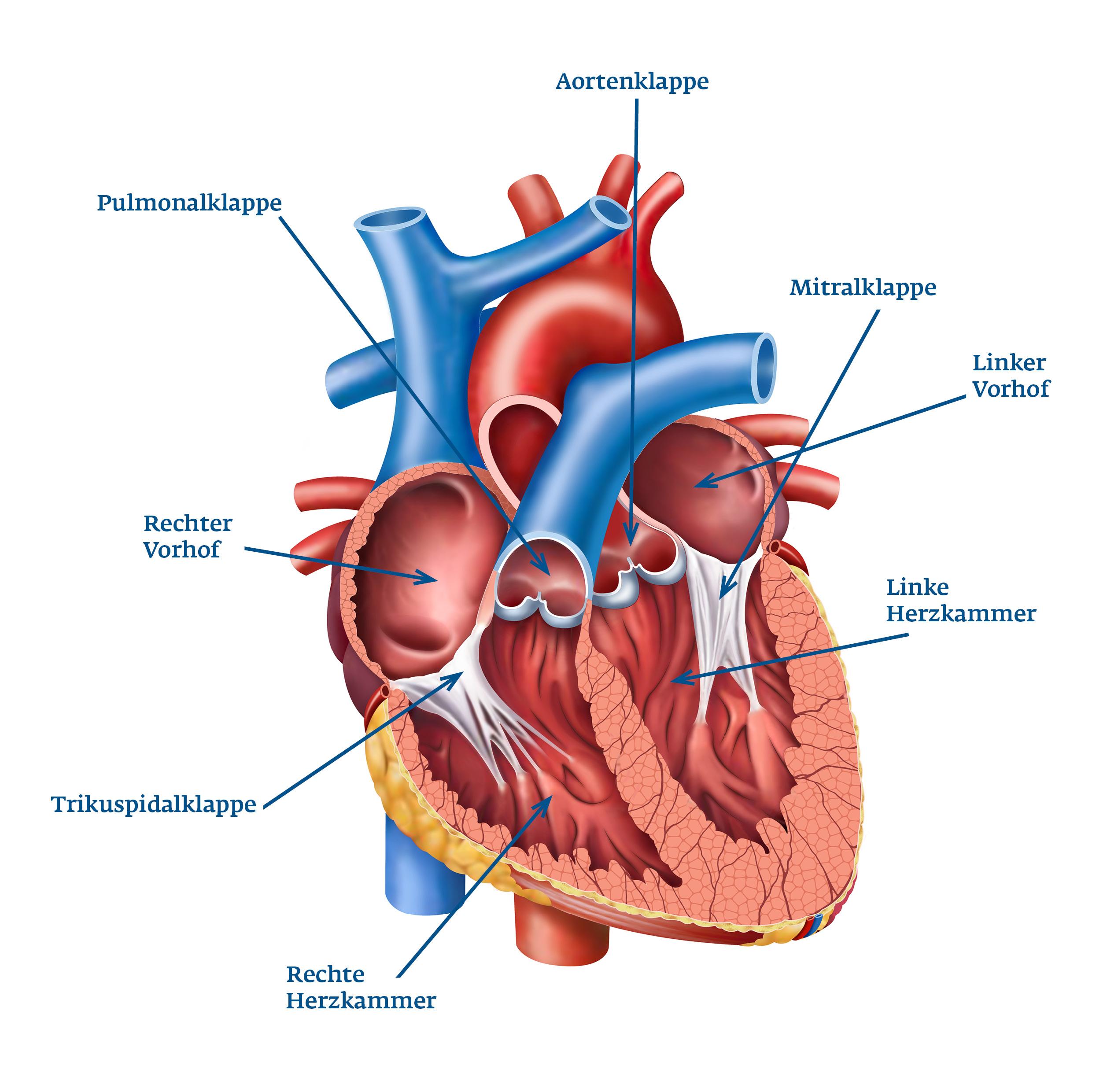Herzklappen Funktion